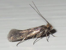 egg bearing clothes moth